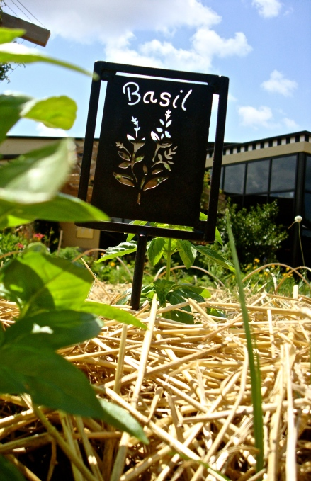 Basil growing at the Edible Schoolyard at the Greensboro Children's Museum