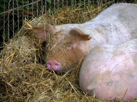 One happy pig, at Bradds Family Farm.