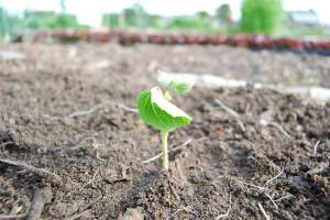 Closeup of an okra seedling